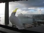 Cockatoo and Opera house